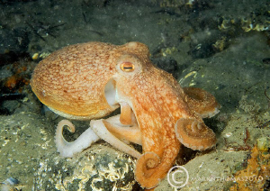 Octopus under Trefor Pier, N. Wales. by Mark Thomas 